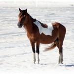 Pony at Assateague