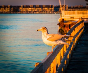 Seagull on a fence at Ocean City, Maryland.